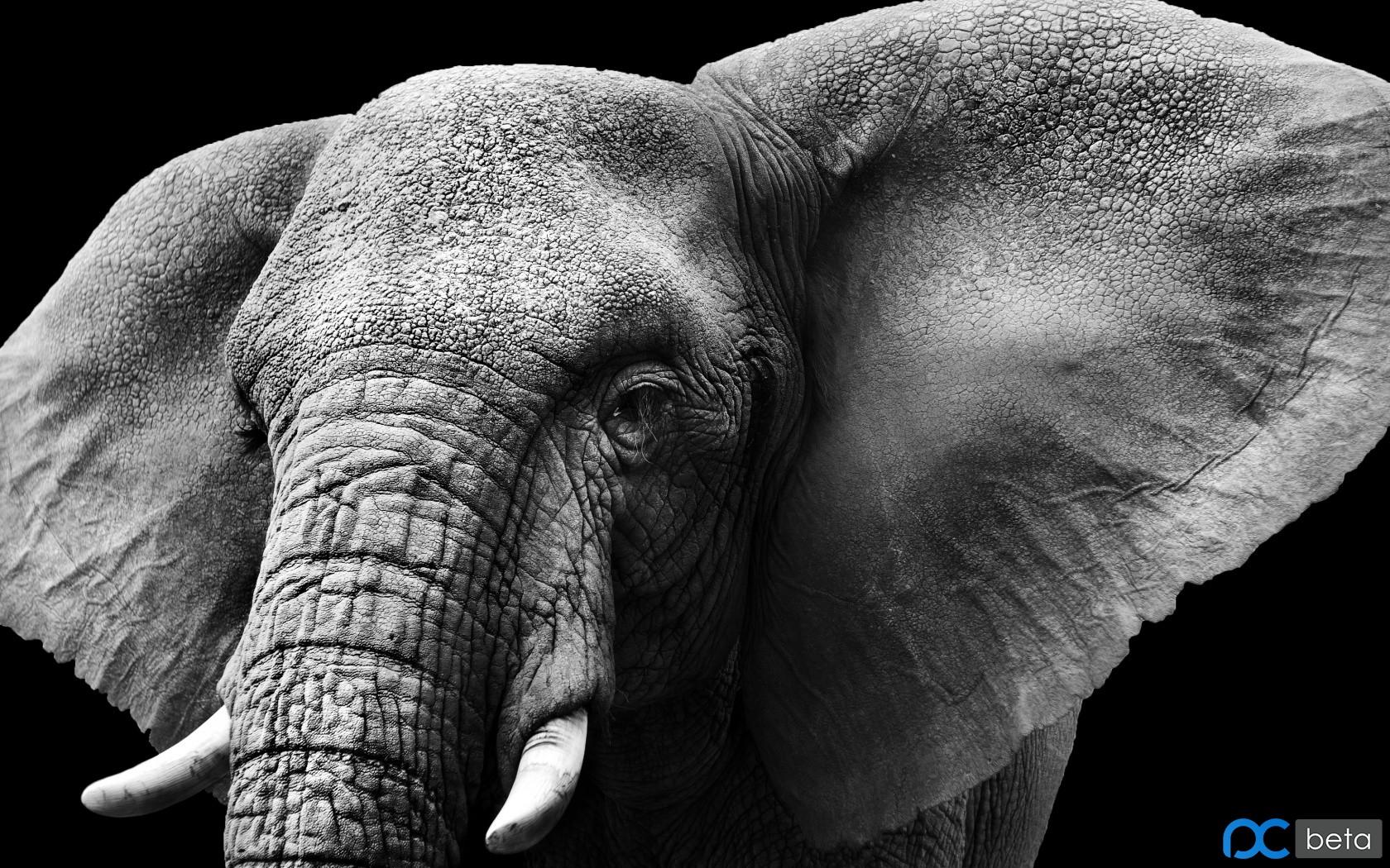 elephant-tusks-ears-ivory.jpg