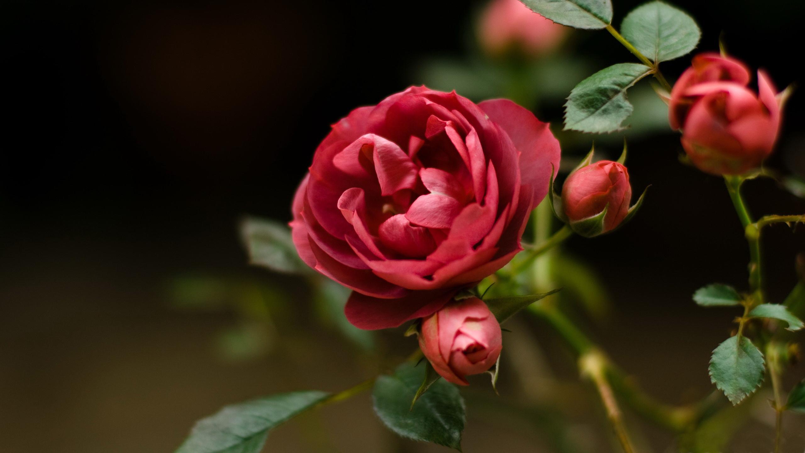 roses-wallpaper-2560x1440.jpg